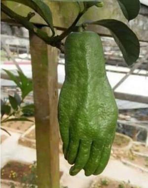 绿色的手抓瓜,据说味道还不错