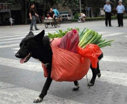 穷人家的狗狗早当家啊